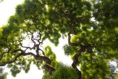 Импрессивная, зеленая крона высокорослого, большого дерева вяза с gnarled, tw Стоковая Фотография RF