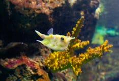 имя лонгхорна lactoria cowfish cornuta латинское Стоковое Изображение