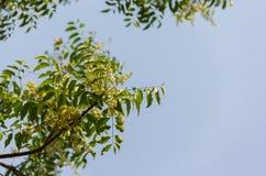 Имя сиамского цветка дерева neem научное: Azadirachta indica стоковая фотография
