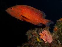 имя miniata grouper коралла cephalopholis латинское Стоковые Фотографии RF