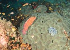имя miniata grouper коралла cephalopholis латинское Стоковое Изображение