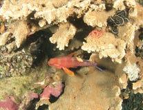 имя miniata grouper коралла cephalopholis латинское Стоковое фото RF