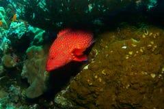 имя miniata grouper коралла cephalopholis латинское Стоковое Фото
