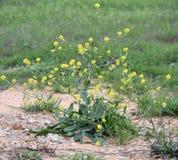 Инвазионный засоритель, драчевый зацветать капусты Стоковые Фото