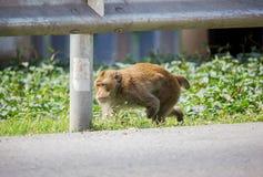 Инвалидность обезьяны идя на проселочную дорогу стоковое изображение rf