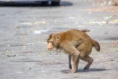 Инвалидность обезьяны имеет одну руку идя с расплывчатой предпосылкой стоковые фотографии rf