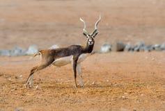 Индеец черного самца оленя Стоковая Фотография