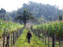 Индигенная плантация банана в ударе Бразилии бедности на плохих районах в Белизе причиняя кашевара сельскохозяйственного развития стоковая фотография rf