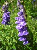 индиго цветка Стоковые Изображения RF