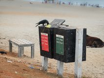 Индийская ворона на мусорных ведрах, пляж Gokarna, Karnataka, Индия стоковые изображения