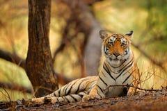 Индийская женщина тигра с первым дождем, диким животным в среду обитания природы, Ranthambore, Индией Большая кошка, угрожаемое ж Стоковое Изображение RF