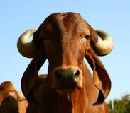 Индийская золотистая корова Стоковая Фотография