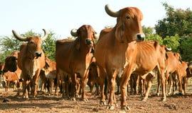 Индийская золотистая корова Стоковое фото RF