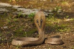 Индийская кобра, кобра кобры, также известная как Spectacled кобра, азиатская кобра или кобра Binocellate, Индия стоковые фото