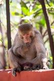 Индийская обезьяна сидя на для того чтобы обнести забором Rishikesh стоковые изображения