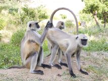 индийская обезьяна Стоковое Фото