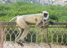 индийская обезьяна Стоковые Фото