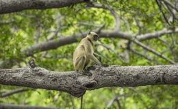 индийская обезьяна Стоковое Изображение