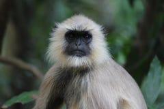 индийская обезьяна стоковые фотографии rf