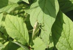 Индийская саранча семьи Acrididae садилась на насест на зеленом кусте стоковая фотография