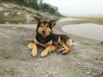 Индийская собака холма стоковые фотографии rf