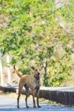 Индийская собака стоковая фотография rf