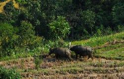 Индийские буйволы на поле риса Стоковая Фотография RF