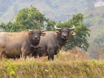 Индийские буйволы Стоковые Фотографии RF