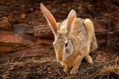Индийские зайцы, nigricollis пася, национальный парк Lepus Ranthambore, Раджастхан, Индия, Азия Животное детали с большими длинны Стоковые Фото