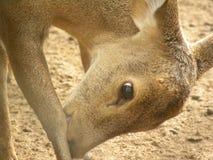 Индийские олени борова стоковые изображения