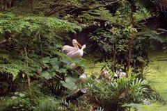 Индийские румяные пеликаны стоковые фотографии rf