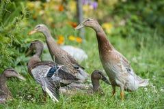 индийские утки бегуна в саде Стоковое фото RF