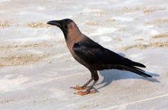 Индийские splendens Corvus вороны дома на пляже Goa стоковые изображения