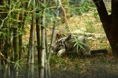 Индийский белый тигр стоковая фотография rf