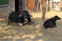 Индийский буйвол в деревне Стоковое Изображение RF
