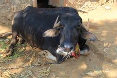 Индийский буйвол в деревне Стоковые Фото