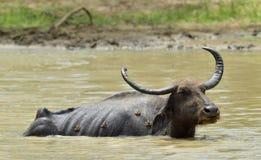 Индийский буйвол и лягушки Стоковое Изображение