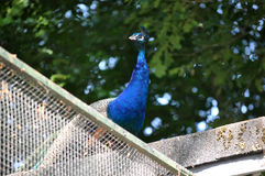 Индийский голубой Peafowl Стоковое фото RF
