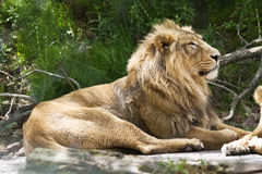 индийский львев стоковые изображения