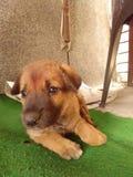 Индийский милый щенок стоковое изображение rf