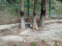 Индийский мужчина тигра стоковая фотография