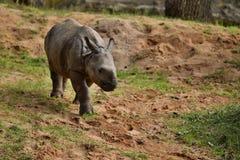 Индийский носорог в красивой природе смотря среду обитания Стоковое Изображение RF