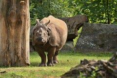 Индийский носорог в красивой природе смотря среду обитания Стоковые Изображения RF