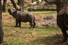 Индийский носорог в красивой природе смотря среду обитания Стоковое Изображение