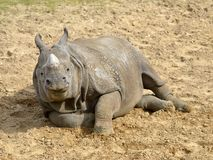 Индийский носорог лежа на земле стоковое изображение rf