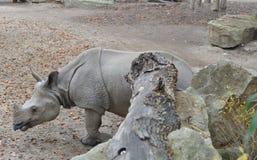 Индийский носорог стоковое изображение rf