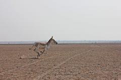 Индийский одичалый ишак Стоковое Изображение RF
