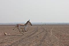 Индийский одичалый ишак Стоковые Фото