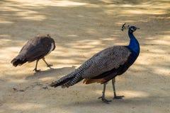 Индийский павлин или голубой павлин Стоковое Изображение RF