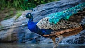 Индийский павлин павлина с естественным взглядом стоковые изображения